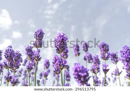 Lavender over blue sky - stock photo