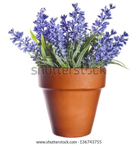 Lavender plant in pottery clay terracotta pot   isolated on white background - stock photo