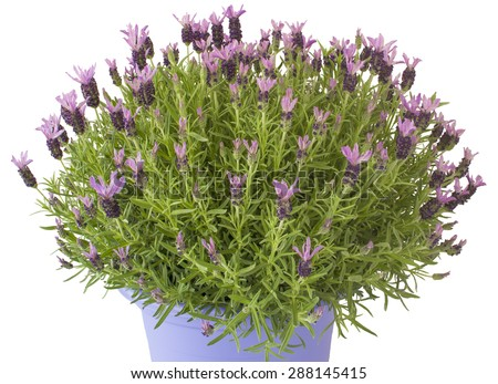Lavender plant on a flowerpot on white background. - stock photo