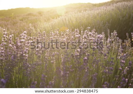 Lavender plantation - stock photo