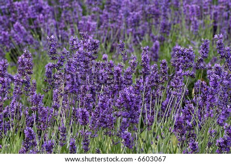 Lavender Plants. - stock photo