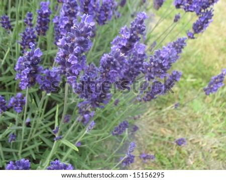 Lavender plants in bloom at the Vashon Island Lavender festival. - stock photo