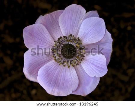 Lavender Poppy - stock photo