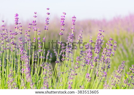 Lavender. Purple lavender flowers in the field.