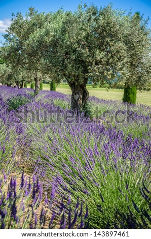 lavender raw in Provence