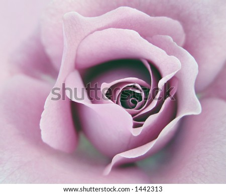Lavender Rose - stock photo