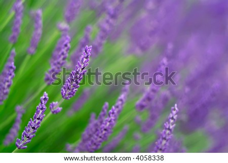 Lavender (shallow focus) - stock photo