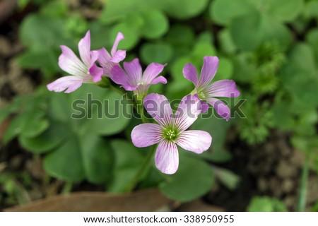 Lavender Sorrel (Oxalis corymbosa) - stock photo