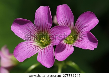Lavender Sorrel's flowers detail (Oxalis violacea) - stock photo
