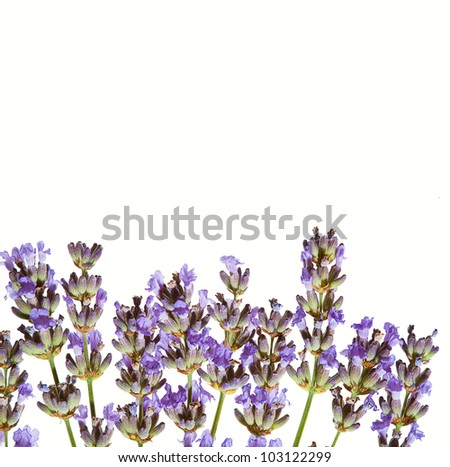 Lavender sprigs in bloom, macro photo against white background.