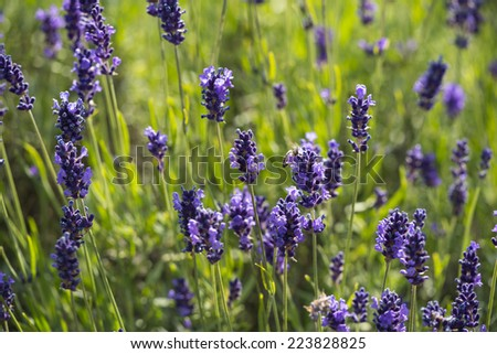 Lavender true in a field - stock photo