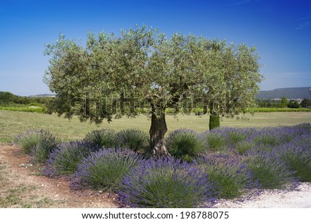 lavender under the olive tree - stock photo