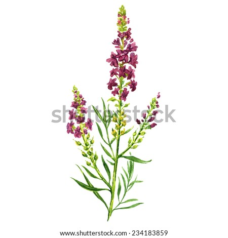 Lavender, watercolor painting on white background - stock photo