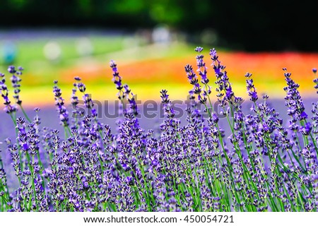 Lavender with colorful flowers in the field at Furano, Hokkaido, Japan. - stock photo