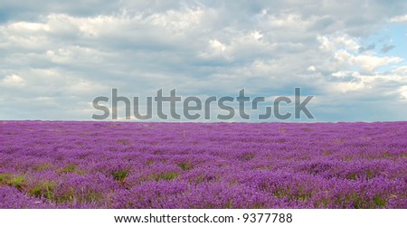 lavenders in a field with cloudy sky in the background - stock photo