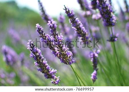 Lavendula - Impressions of the Provence - stock photo
