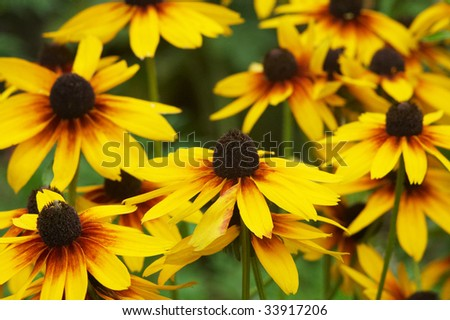 Lawn of Echinacea flowers - stock photo