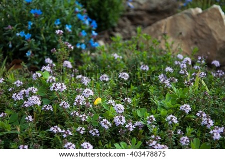 lawn with flowering aromatic plant