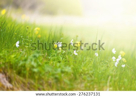 Lawn with spring wild flowers with a warm sunlight, short depth of field - stock photo