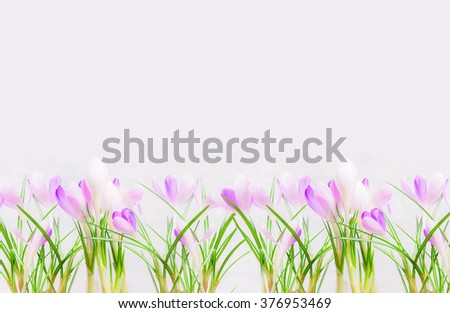 Lay of beautiful purple white crocuses on light background. Spring nature or gardening concept