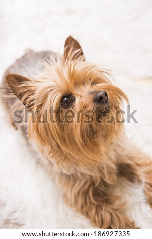 Laying Adult Silky Terrier. Five Years Old Silky Terrier. Vertical Photography. - stock photo