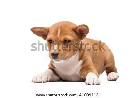 Laying basenji puppy looking down - stock photo