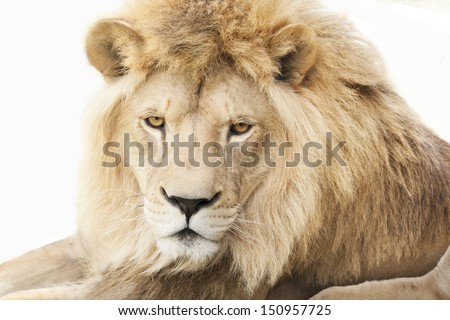 Laying beautiful male lion with rich golden mane, isolated on white background. - stock photo