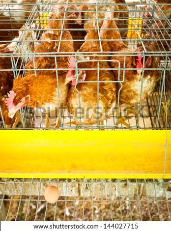 laying hen in farm - stock photo