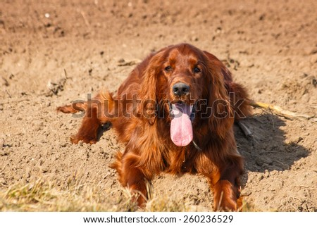 Laying irish setter with pink tongue in field - stock photo