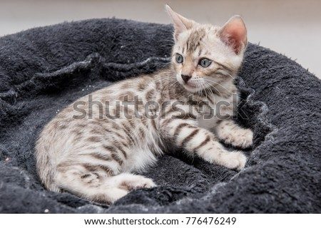 laying lazy silver spotted bengal cat kitten