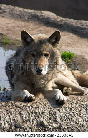 Laying on the sun, the wolf having a rest on mountain