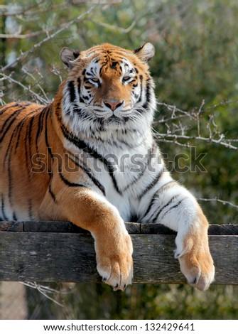 Laying tiger - stock photo