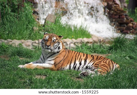 Laying tiger