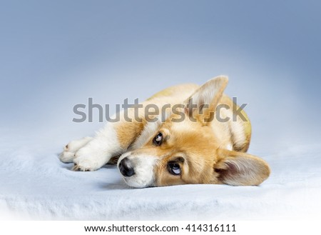 laying welsh corgie puppy on a blue blanket - stock photo