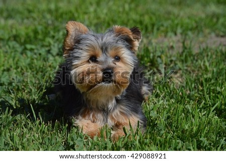 Laying Yorkie Puppy Portrait