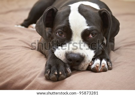 Lazy and mischievous Pit Bull puppy - stock photo