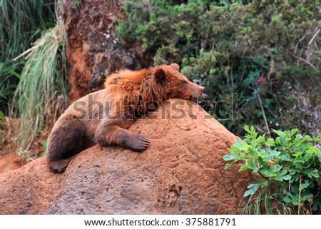 Lazy brown bear sleeping on a rock in the mountain  - stock photo