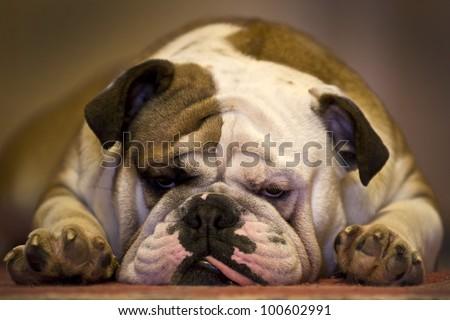 Lazy bulldog sleeping with tongue out - stock photo