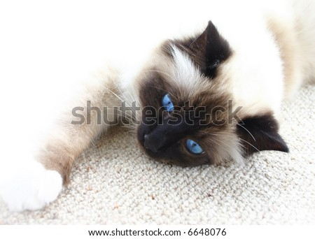 Lazy burman cat with blue eyes resting on the carpet. White background. - stock photo