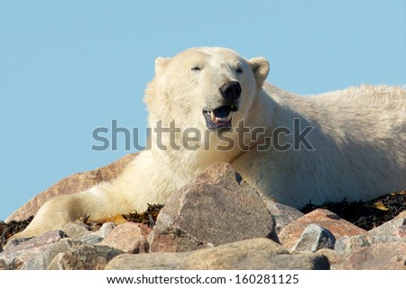 Lazy Canadian Polar Bear yawning on some rocks next to the arctic tundra of the Hudson Bay near Churchill, Manitoba in summer - stock photo