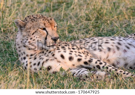 Lazy Cheetah  - stock photo