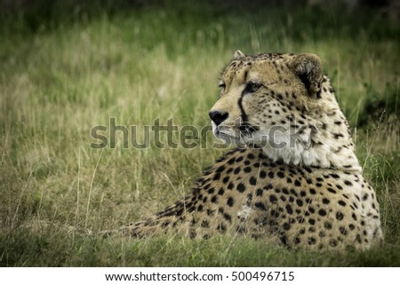 Lazy Cheetah waits in the long grass for unsuspecting prey. Relaxing in the sun, this beautiful creature is alert and only seconds away from hunting down an Impala on the plains of Africa