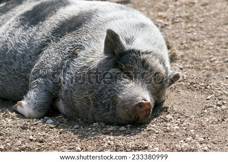 Lazy cute mangalitsa pig sleeping on the ground - stock photo