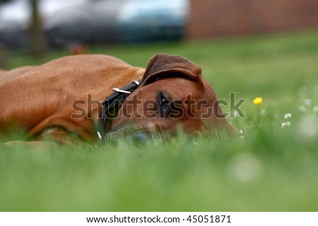 lazy dog lying down in grass - stock photo