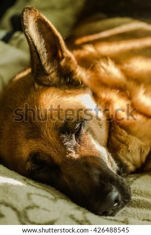 lazy german shepherd sleep on bed, sun rays from window - stock photo