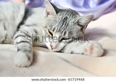 lazy gray cat dozing on the sofa - stock photo