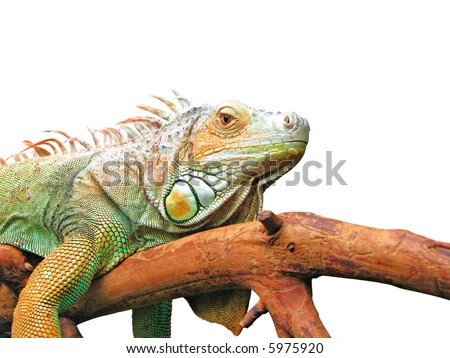 Lazy iguana laying on branch - stock photo