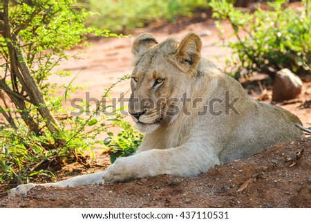 Lazy lion lying on iron-rich red soil