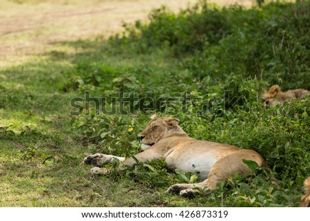 Lazy lioness sitting sleeping after lunch in the grass