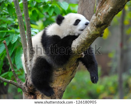 Lazy panda in tree - stock photo
